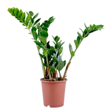Product Zamioculcas