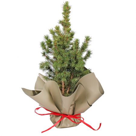 Product Spruce in a pot
