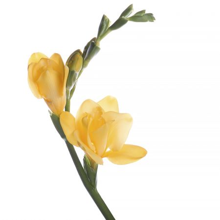 Bouquet Freesia yellow piece