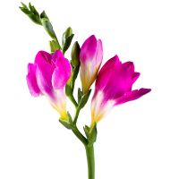 Order freesia pink piece in the internet-shop with delivery to any city