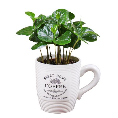 Product Coffee tree in a cup
