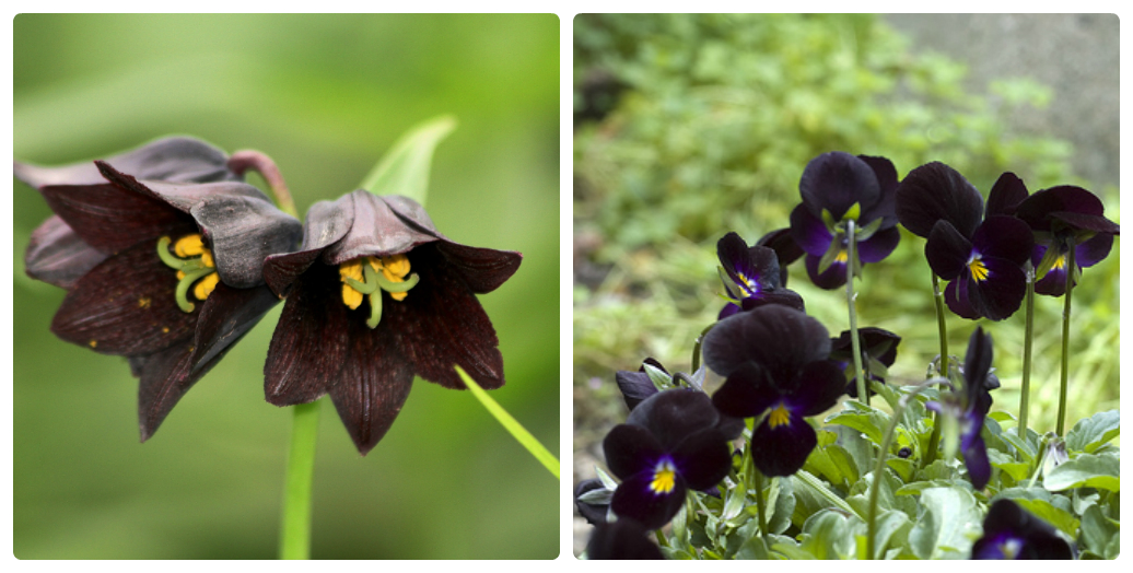 Black Flowers: True or False?